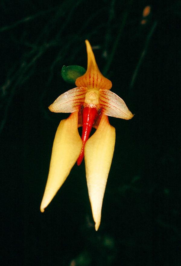 Bulb carunculatum