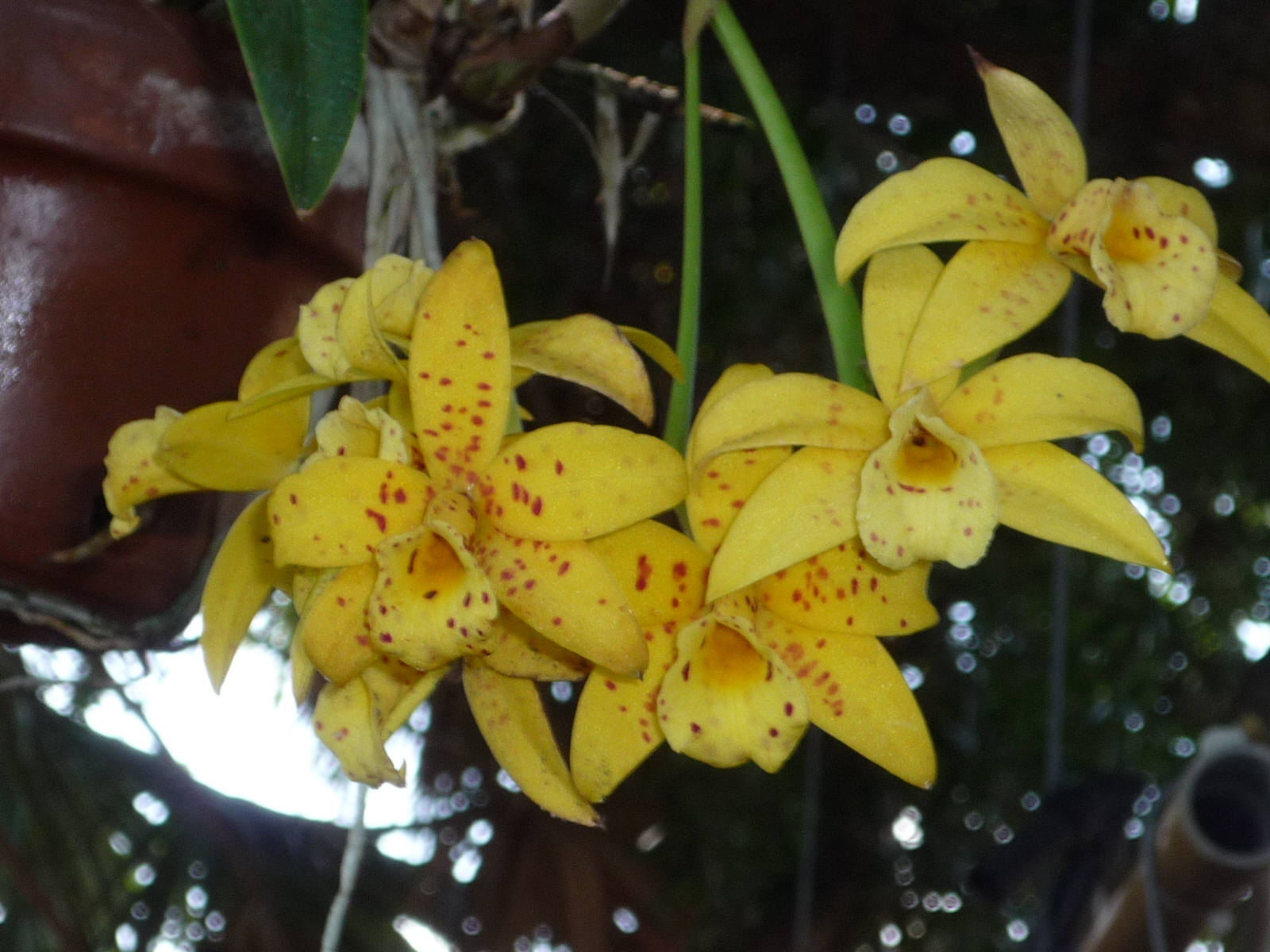 Orchids For Sale Venice Area Orchid Society