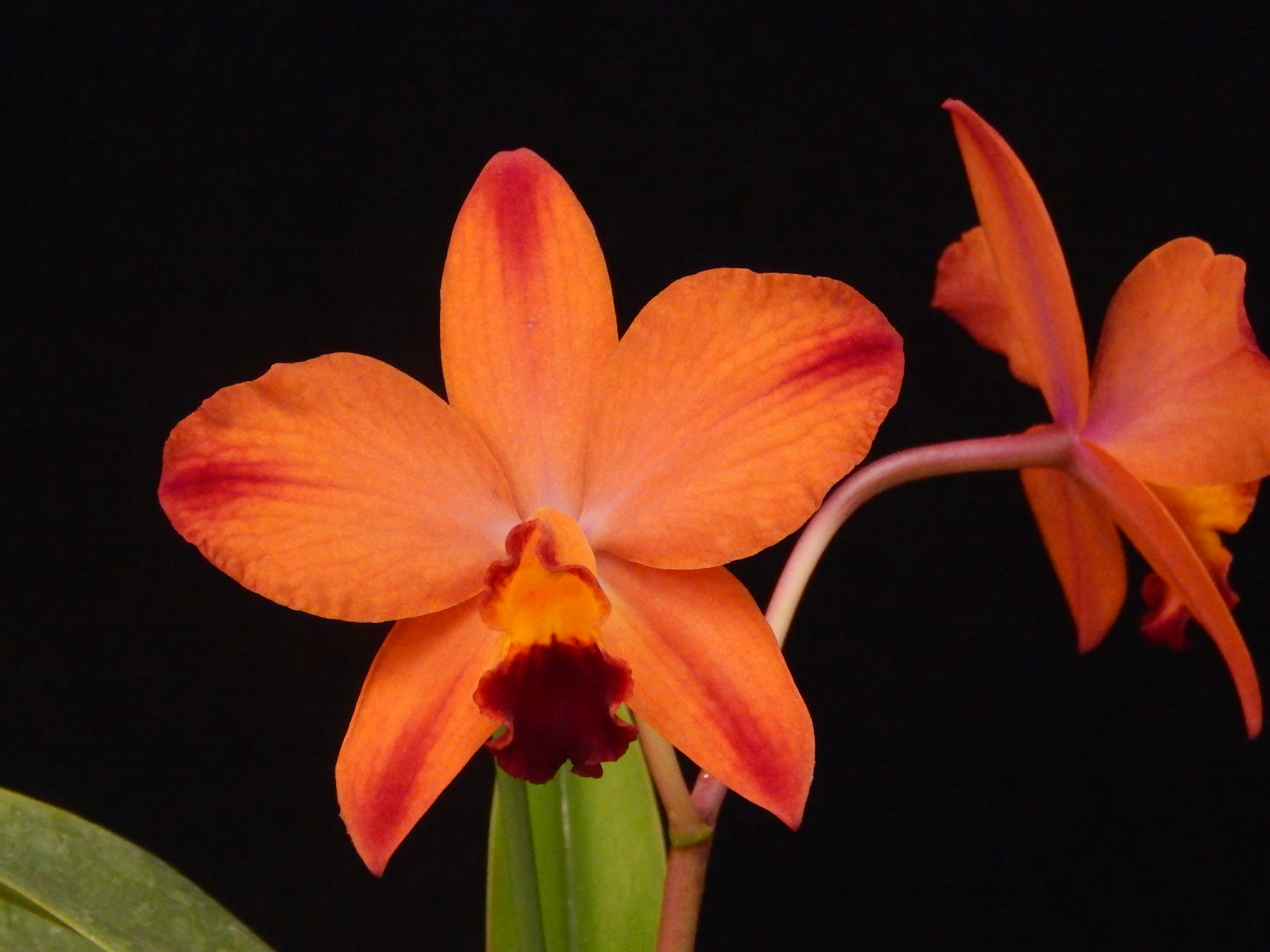 Cattleya A Miracle Everyday